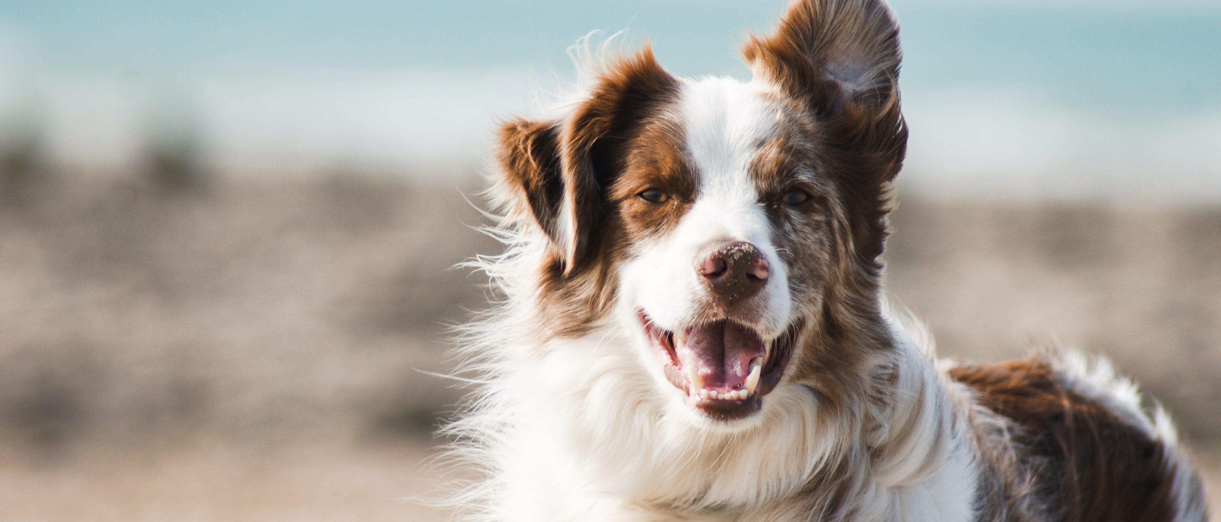 resolving pet custody disputes